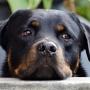 perro guardian rottweiler