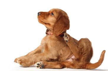 Remedios caseros para las pulgas en los perros - Como saber si tengo pulgas en casa ...