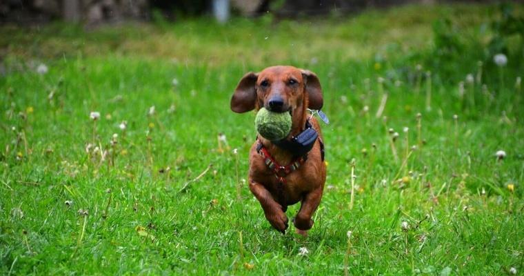 perro pelota