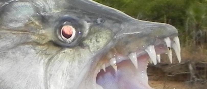 pez tigre goliat