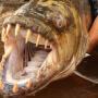 goliath - pez come cocodrilos