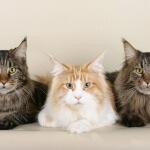 La raza de gatos más cariñosa