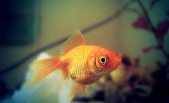 Clases de peces para acuarios