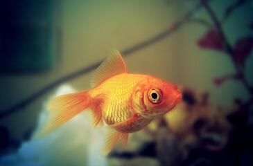 Clases de peces para acuarios for Mejores peces para acuario