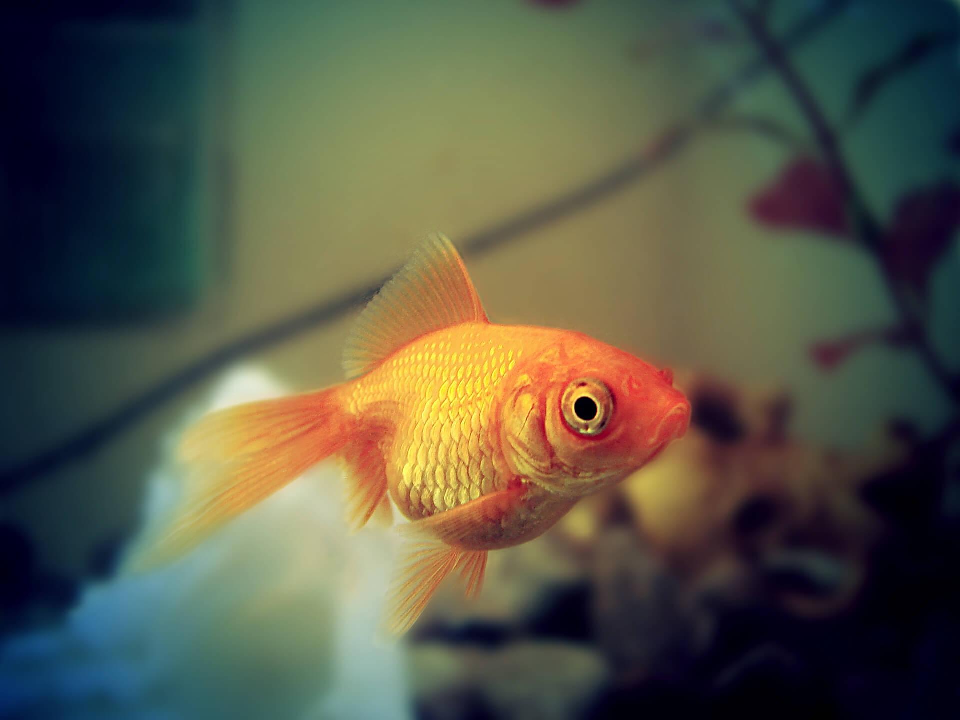Clases de peces para acuarios for Los mejores peces de agua fria