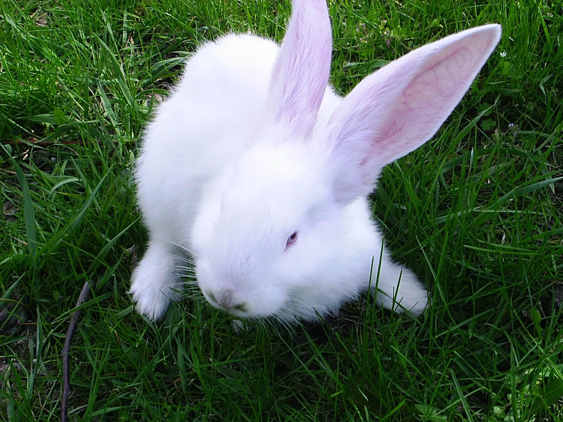 Por qu los conejos dan patadas al suelo - Acabar con las pulgas en casa ...