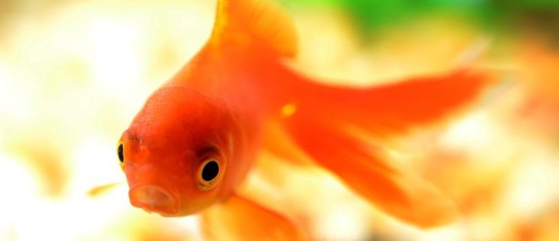 Clases de peces para acuarios for Peces goldfish tipos
