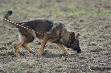 razas de perro más inteligentes