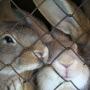 Por qué los conejos muerden la jaula