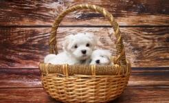 mini perros