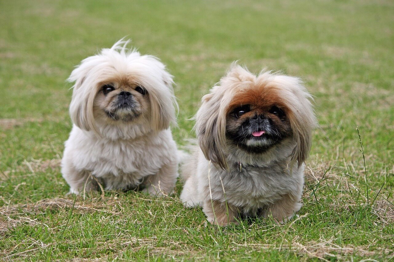 Pekines perro raza
