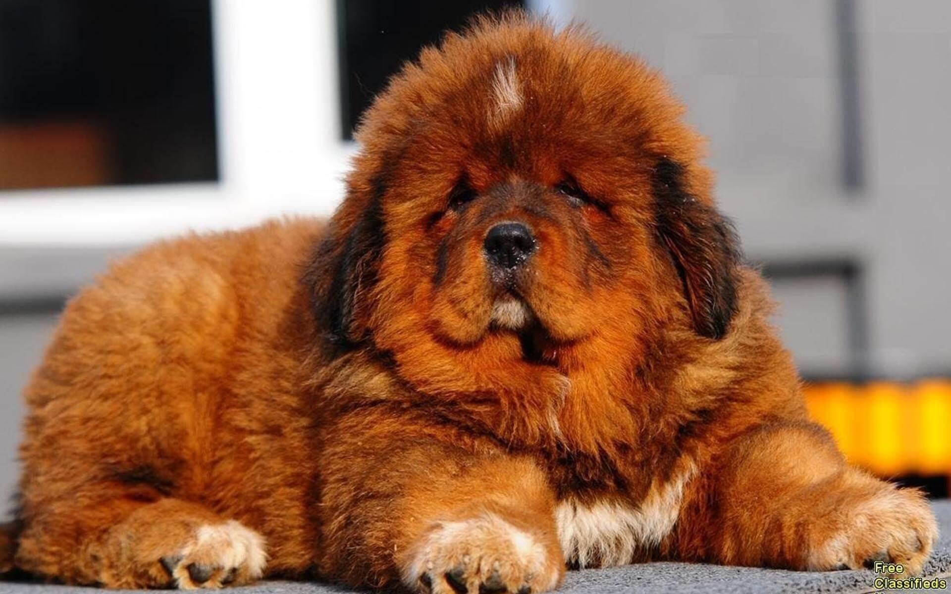 Cachorro Mastin Tibetano